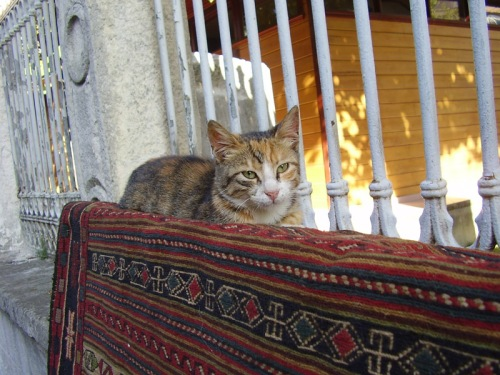 Cat of Istanbul enjoying a carpet