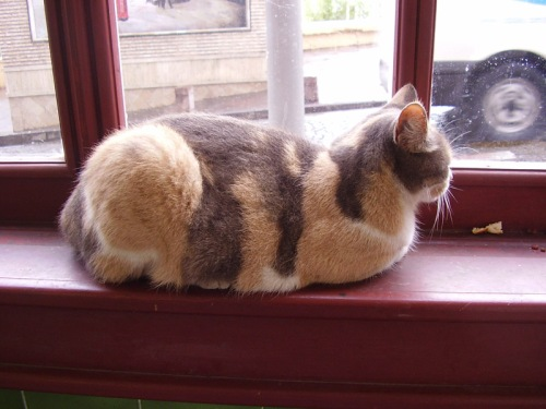 Cat of Istanbul enjoying a windowsill