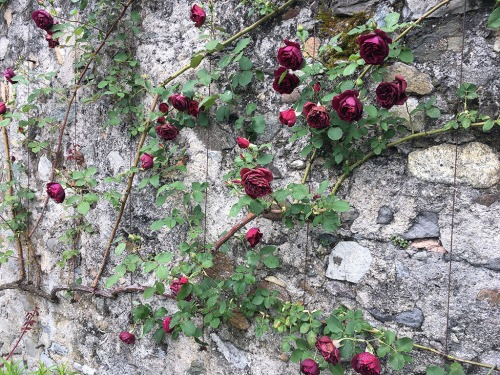 Yvoire wall and roses